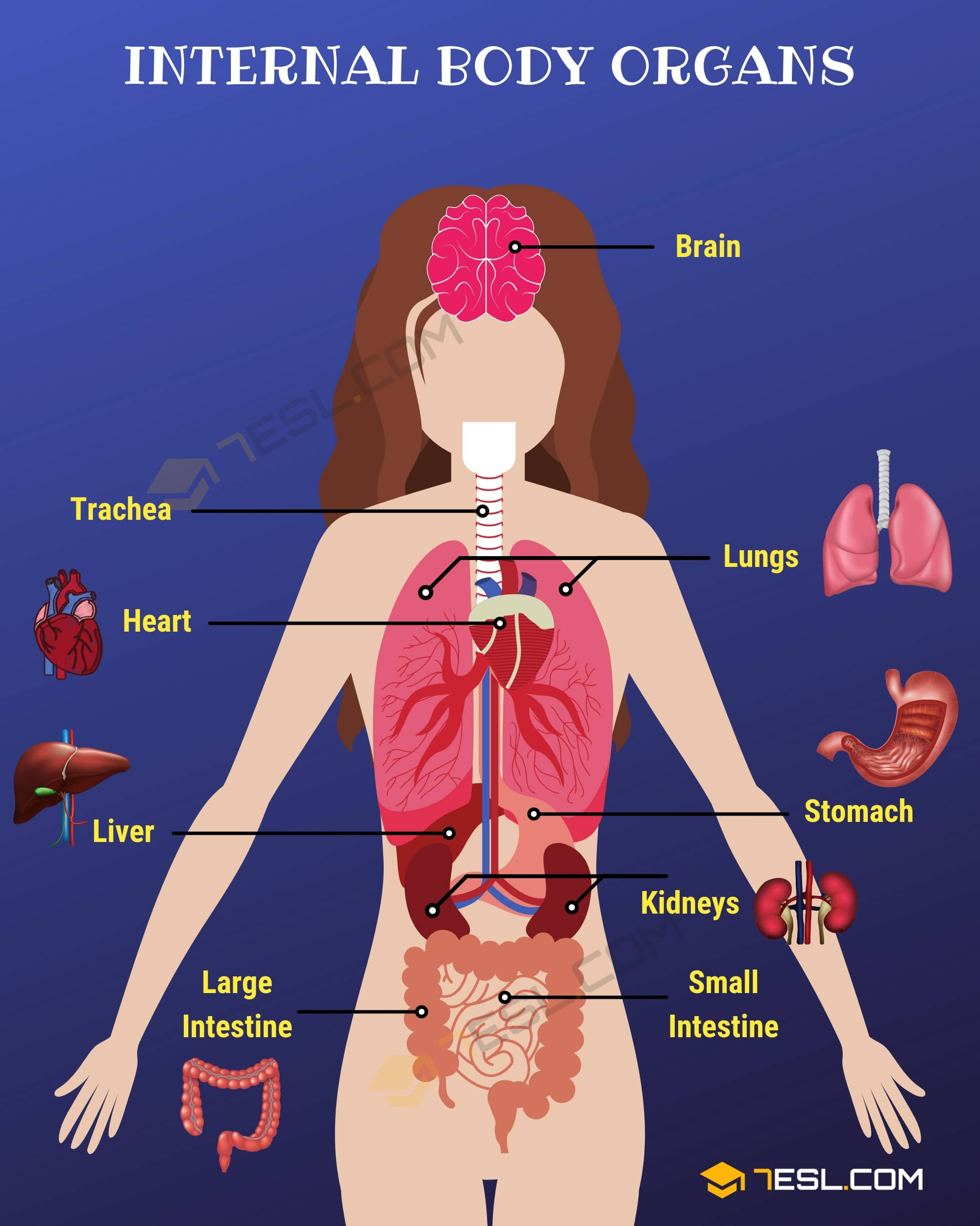 Internal Body Parts