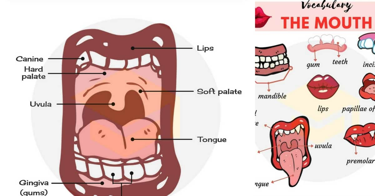 Parts of the Mouth Names | Human Mouth Vocabulary 1