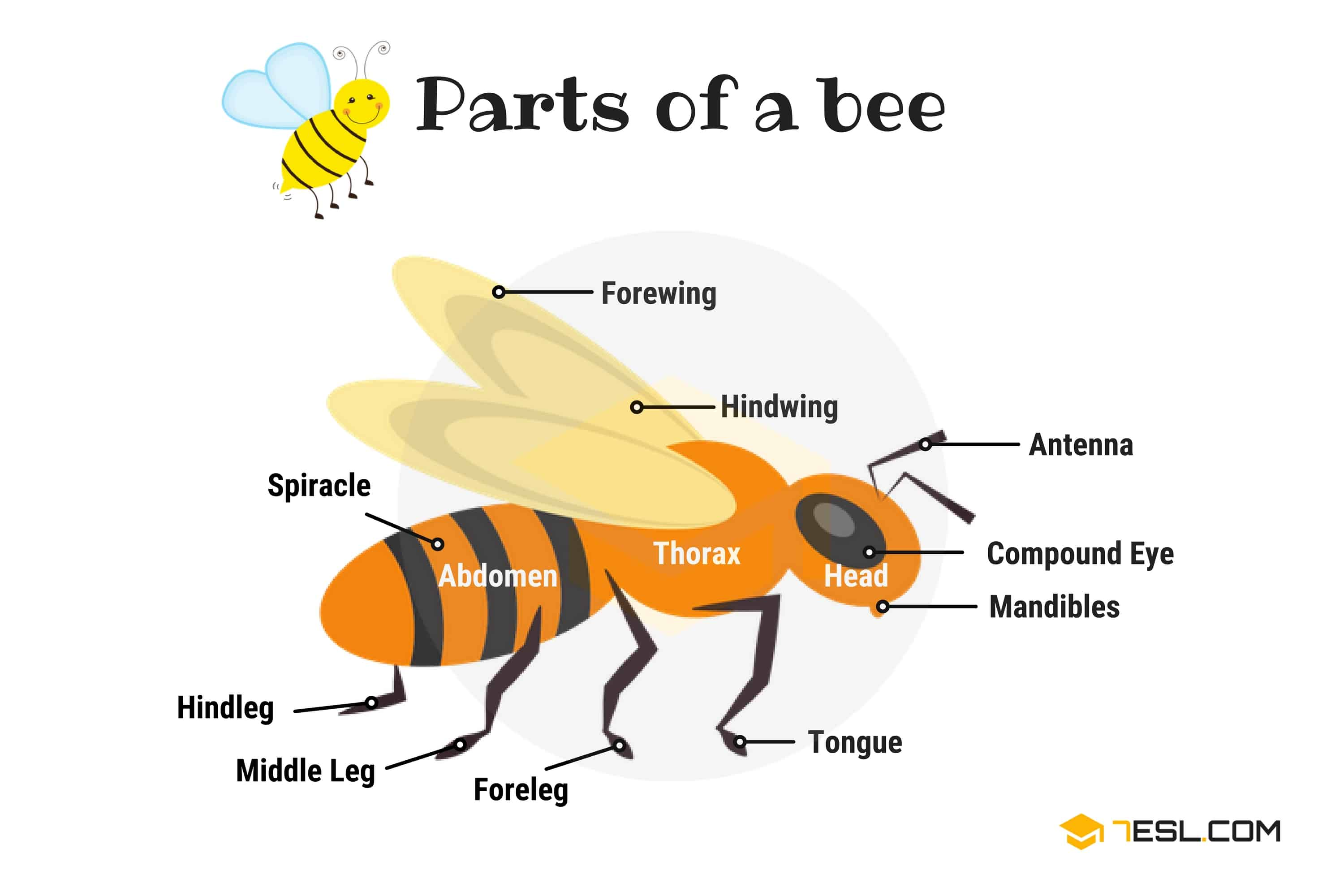 Parts of a BEE Vocabulary in English