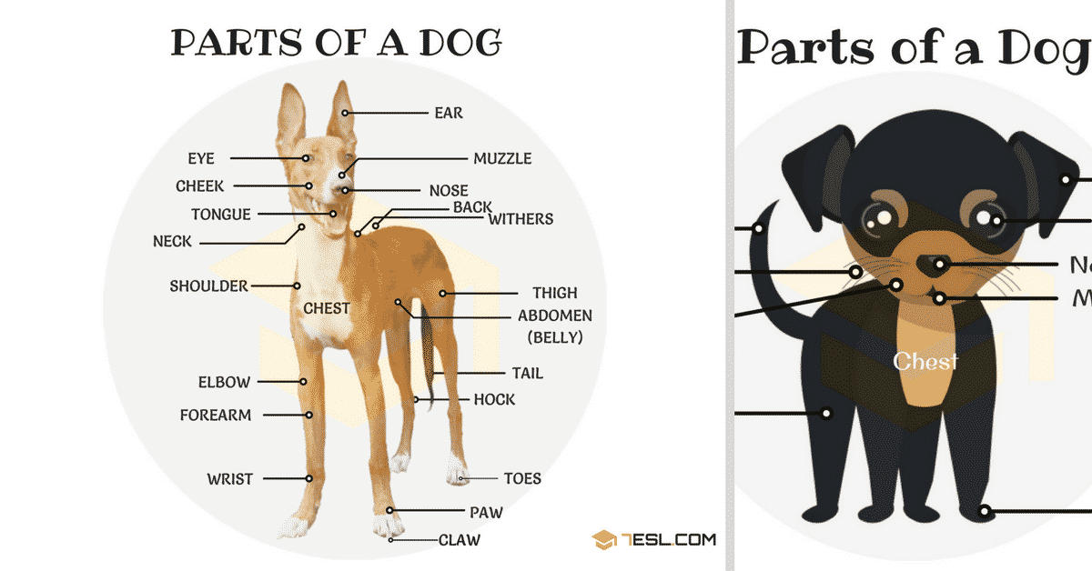 Different Parts of a Dog in English (with Picture) 7