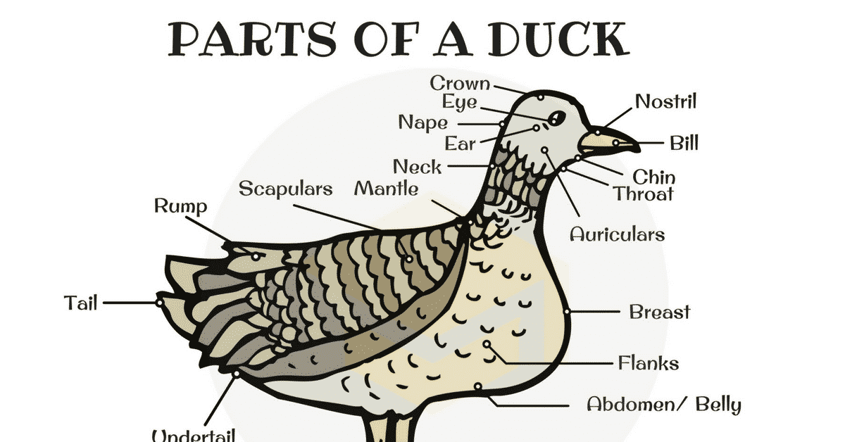 Duck Anatomy: Parts of a Duck in English with Pictures 1