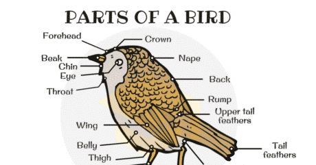 Different Parts of a Bird in English (with Picture) 85