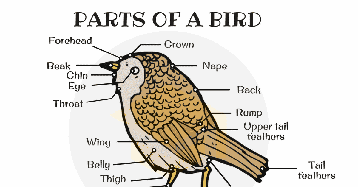 Different Parts of a Bird in English (with Picture) 27