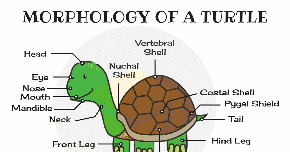 Parts Of A Turtle  Useful Turtle Anatomy With Pictures
