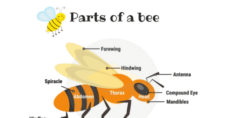 Parts of a BEE Vocabulary in English (with Picture) 99