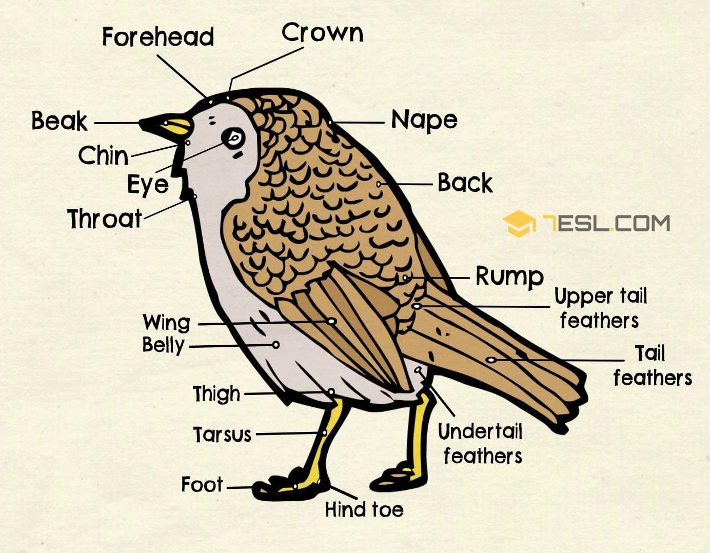 Different Parts of a Bird in English | Bird Anatomy - 7 E S L