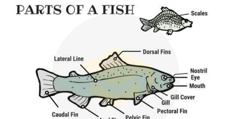 Parts of a Fish Vocabulary in English (with Picture) 80
