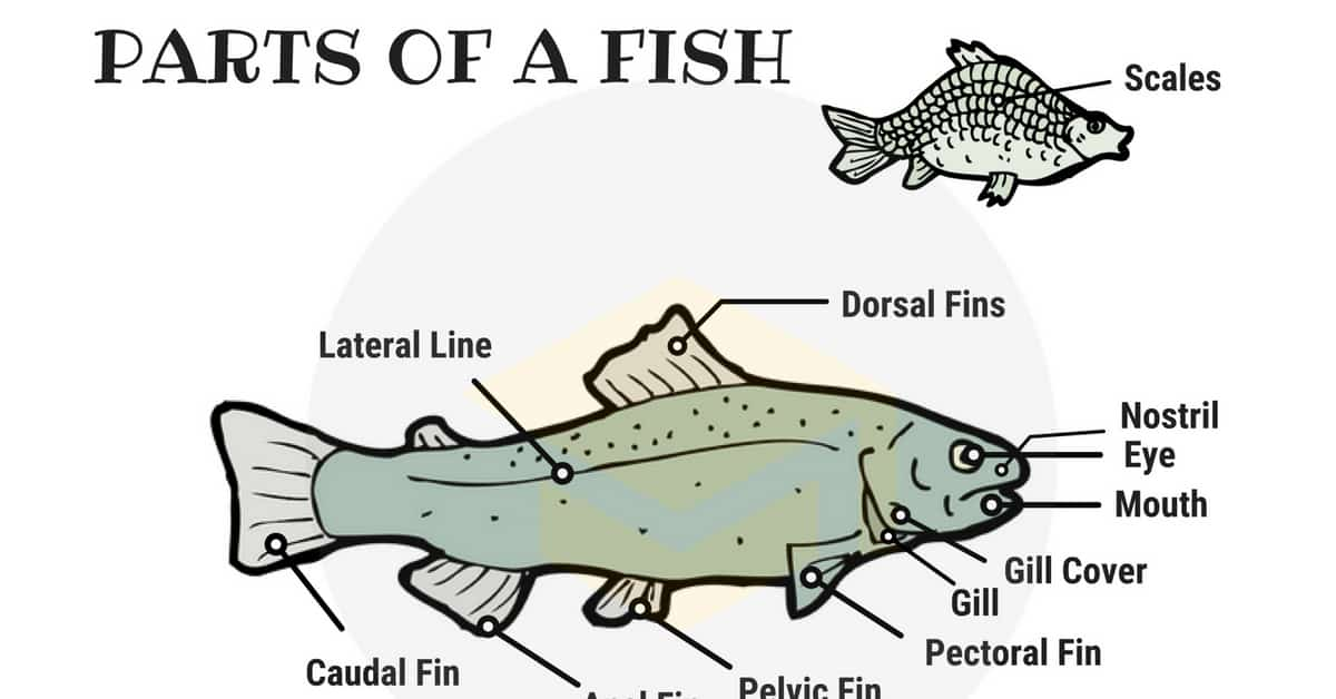 Parts of a Fish: Useful Fish Anatomy with Pictures - 7 E S L