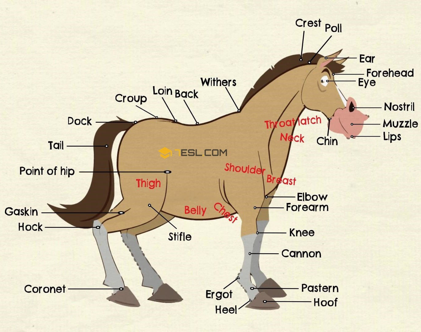 Parts Of A Horse Useful Horse Anatomy With Pictures 7 E S L