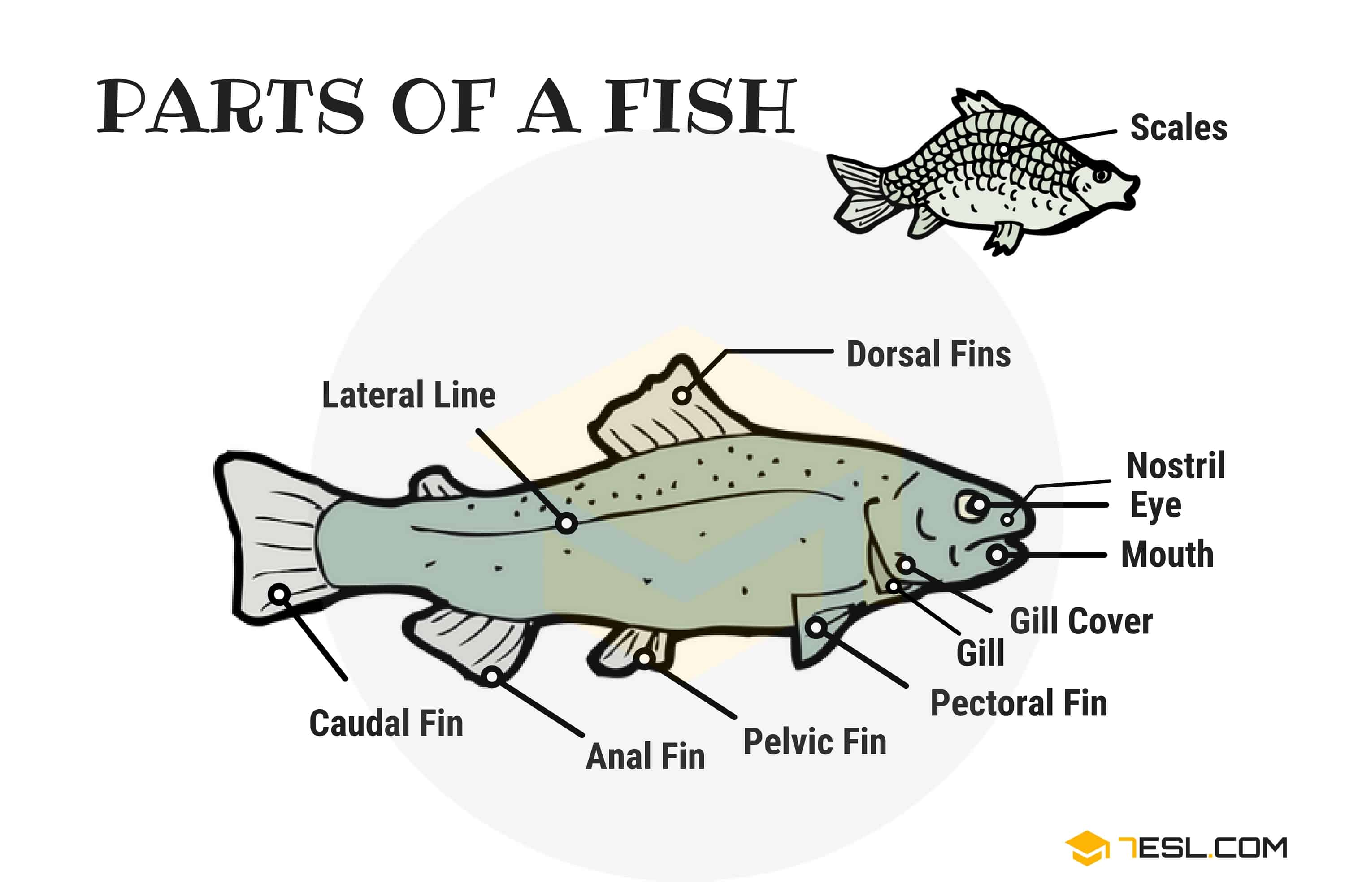 Parts of a Fish: Useful Fish Anatomy with Pictures