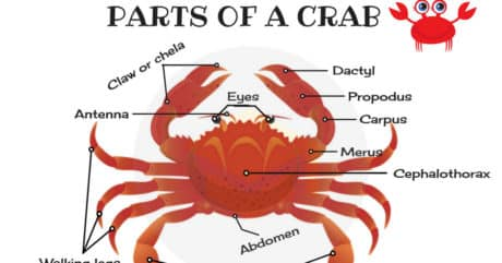 Different Parts of a Crab in English (with Picture) 58