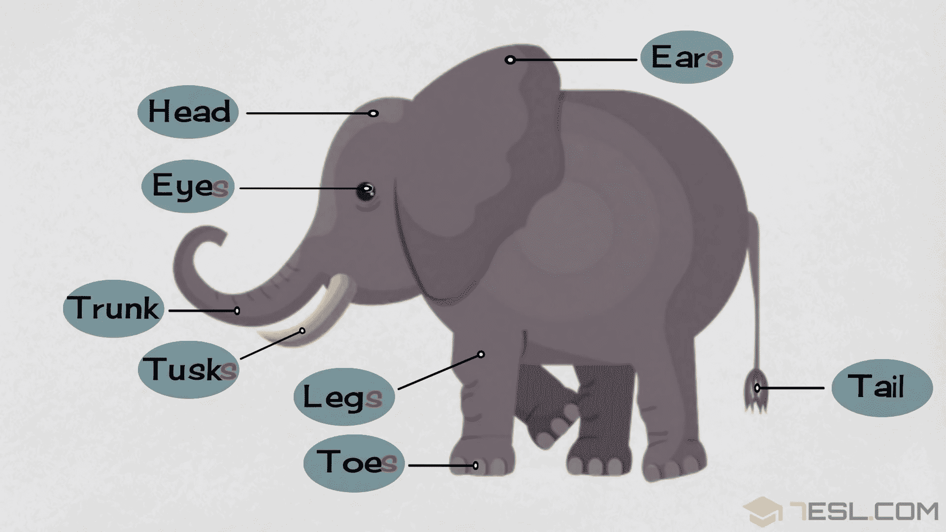 Elephant Parts: Elephant Body Parts with Pictures