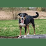 Appenzeller Dog