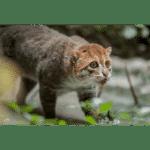 Flat-headed Cat