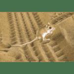 Kangaroo Rat
