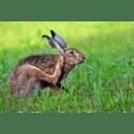 Korean Hare