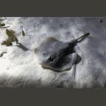 Skate Fish