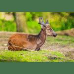 Visayan Spotted Deer