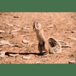 Yellow Ground Squirrel