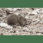 Yellow-Nosed Cotton Rat