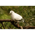 Zone-tailed Pigeon