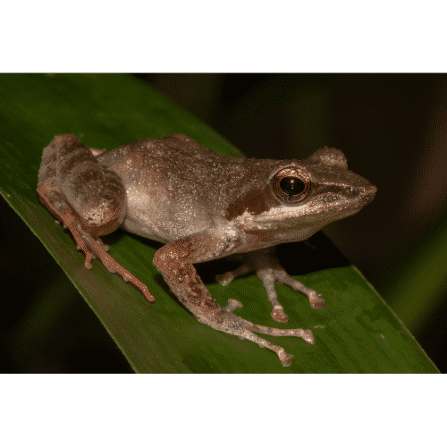 South Asian Frogs