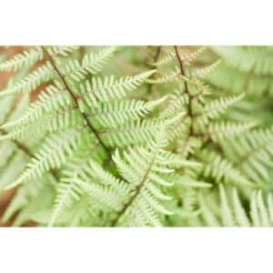8 Different Types of Ferns with Interesting Facts and Pictures 2