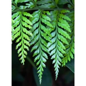 8 Different Types of Ferns with Interesting Facts and Pictures 6