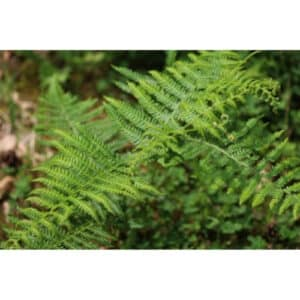 8 Different Types of Ferns with Interesting Facts and Pictures 7
