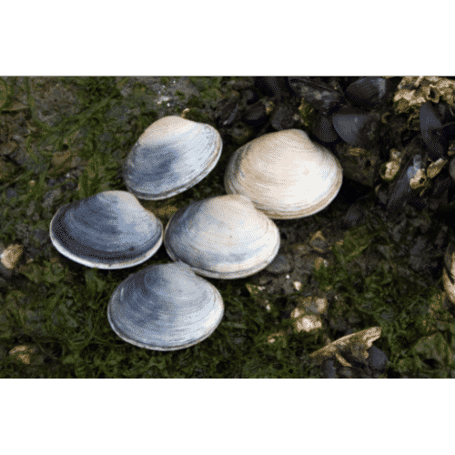 Butter Clam