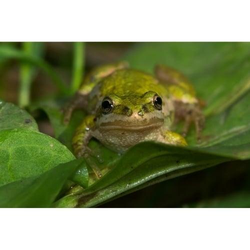 Boreal Chorus Frogs