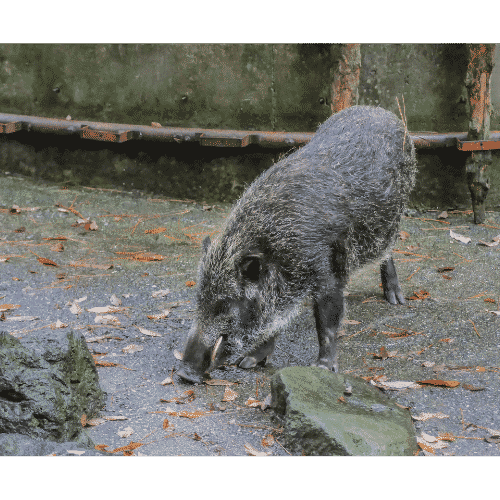 Japanese boars