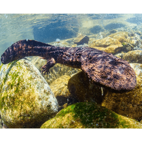 Japanese giant salamanders