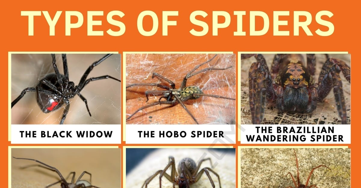 Types of Spiders with Interesting Facts   Spider Identification 1